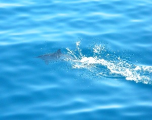 Dolphin in crystal clear waters