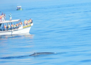 Whale near the tourist boat