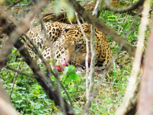 Leopard eating its kill